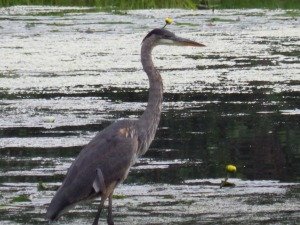 A wild Heron camein for a close up.  Barely any zoom on this one, he was unnervingly close.