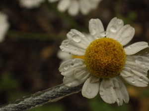 A daisy like flower photographed after the rain storm.